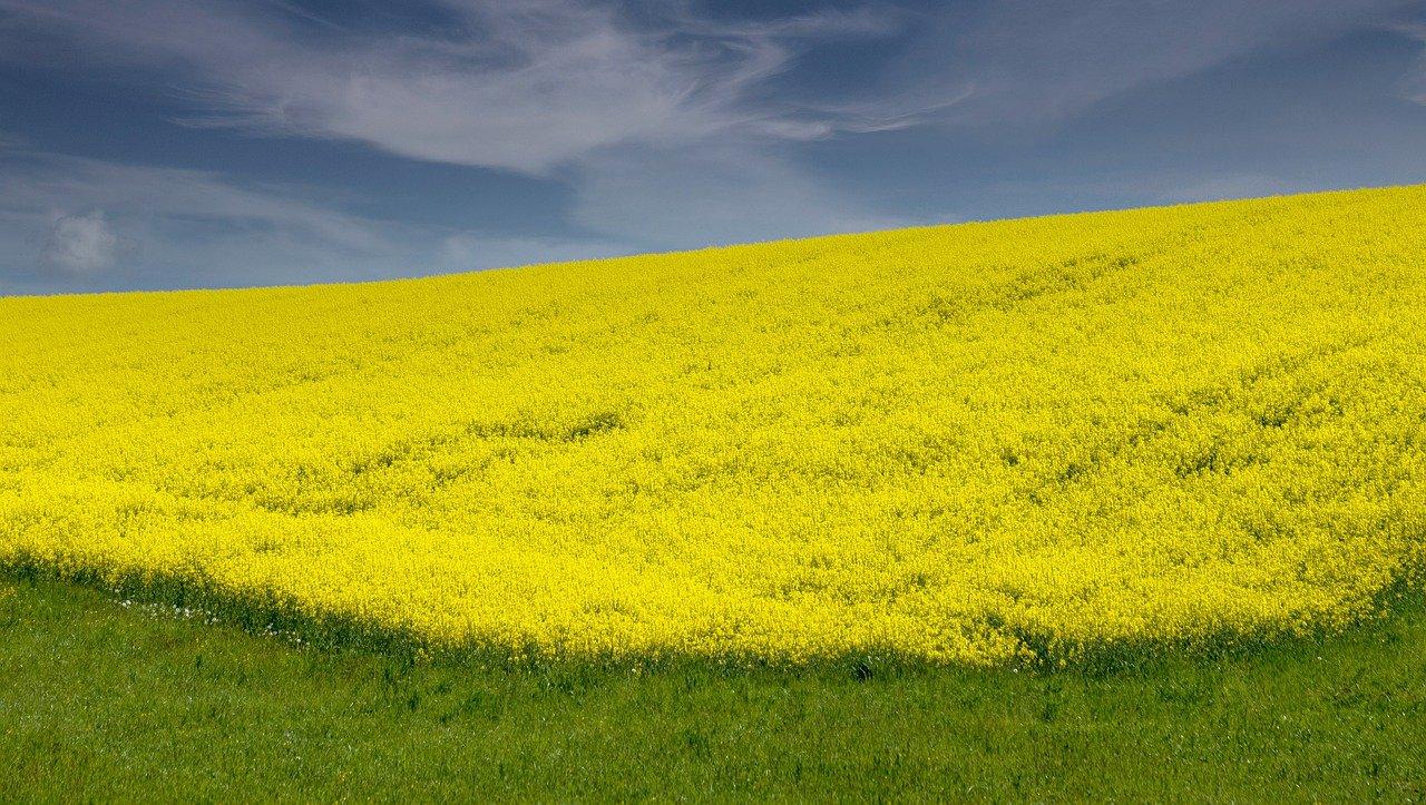 rapeseed, flowers, field